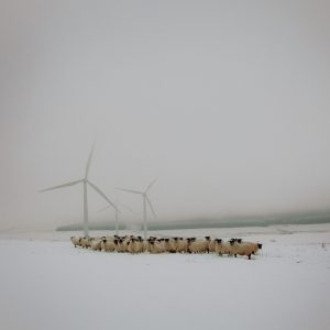 Patricia's Blackfaced ewes with wind turbines, Lauder, Scottish borders.