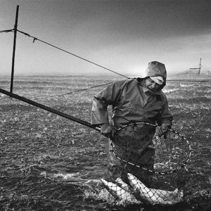 A salmon netter hauls salmon from a 'jumper' net at low tide on the sands at Kinnaber, Angus during a May hailstorm. The once-thriving Scottish salmon netting industry fell into decline in the 1970s and 1980s when the numbers of fish caught reduced due to environmental and economic reasons. By 2007, only a handful of men still caught wild salmon and sea trout using traditional methods, mainly for export to the Continent.