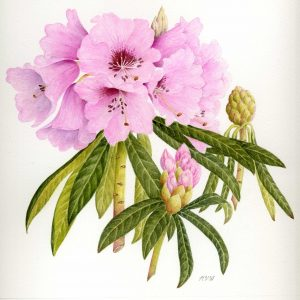 Marion Wilson Pink rhododendron