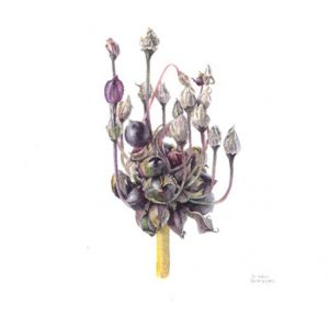 Victoria Braithwaite - Allium 'Art'